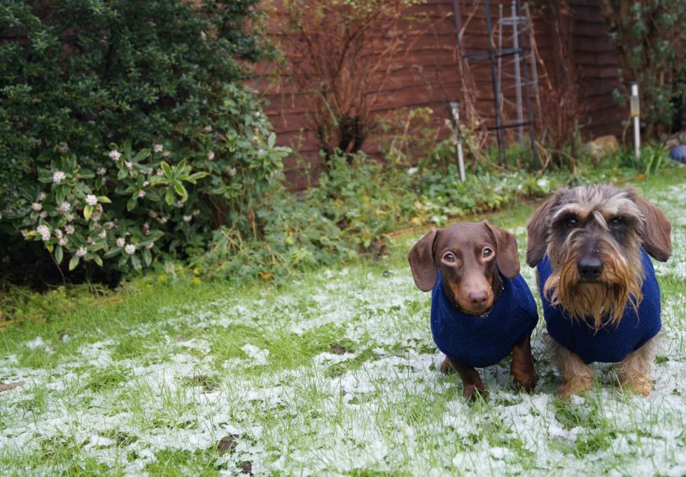 Dachsund Snow
