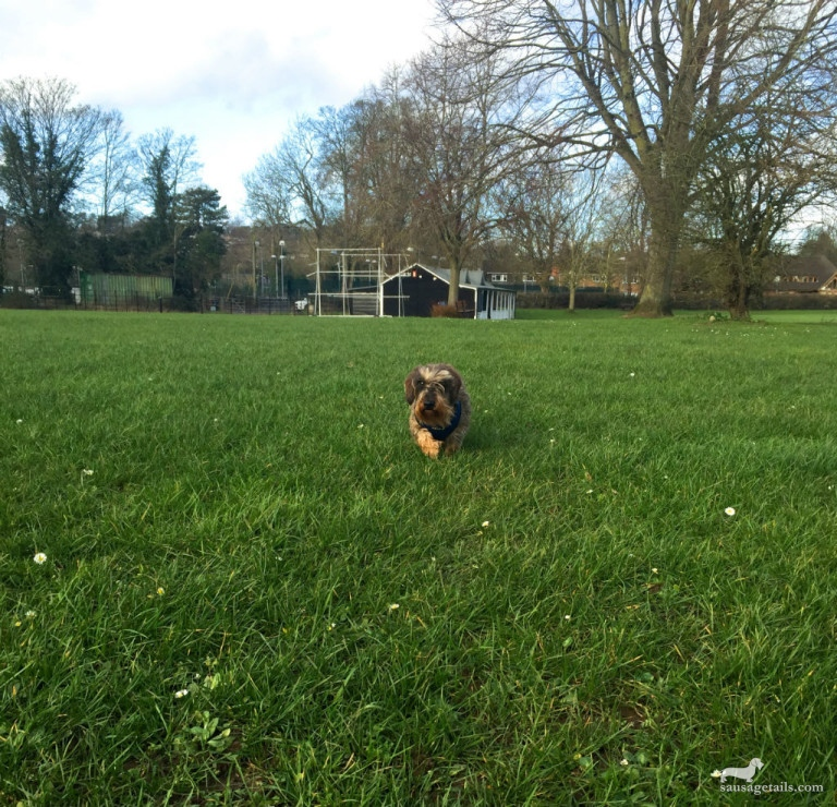 Sausage Dog Running