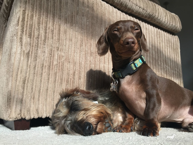 Sausage Dog Sunbathing