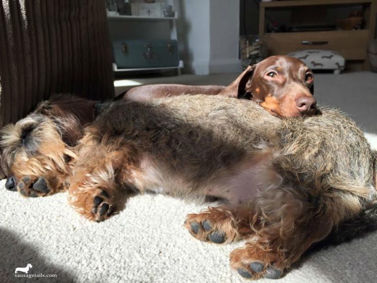 Dachshund Sunbathing