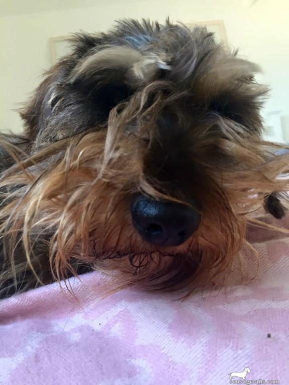 Sausage Dog Beard