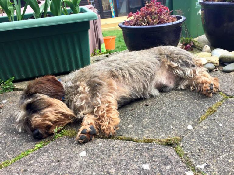 Sunbathing Sausage Dog
