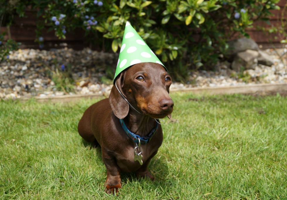 Dachshund Party Hat