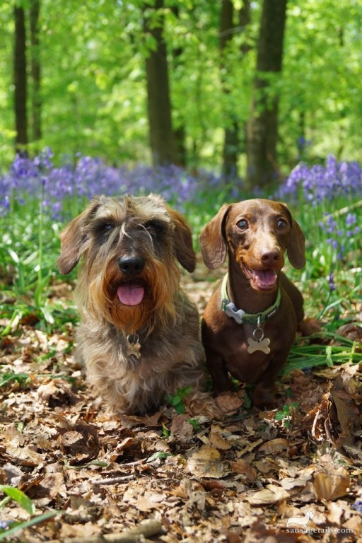Sausage Dog Woods