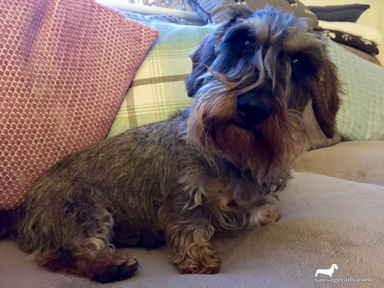 Wire Haired Sausage Dog
