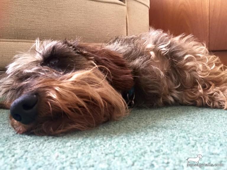 Sleeping Dachshund