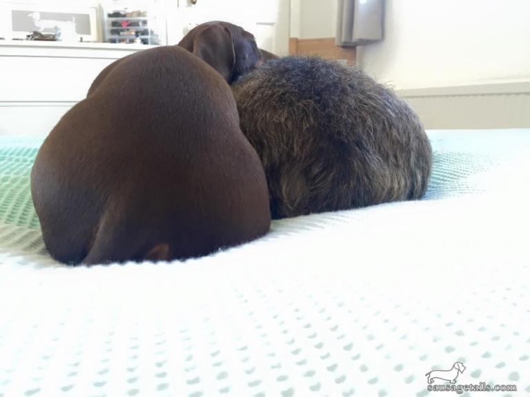 Dachshund Bottom