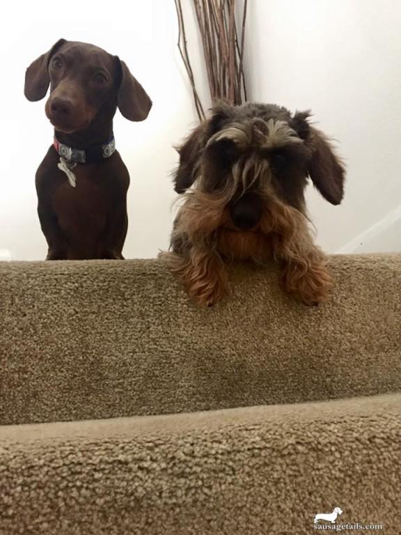 Dachshund Stairs