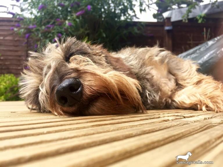 Sunbathing Dachshund