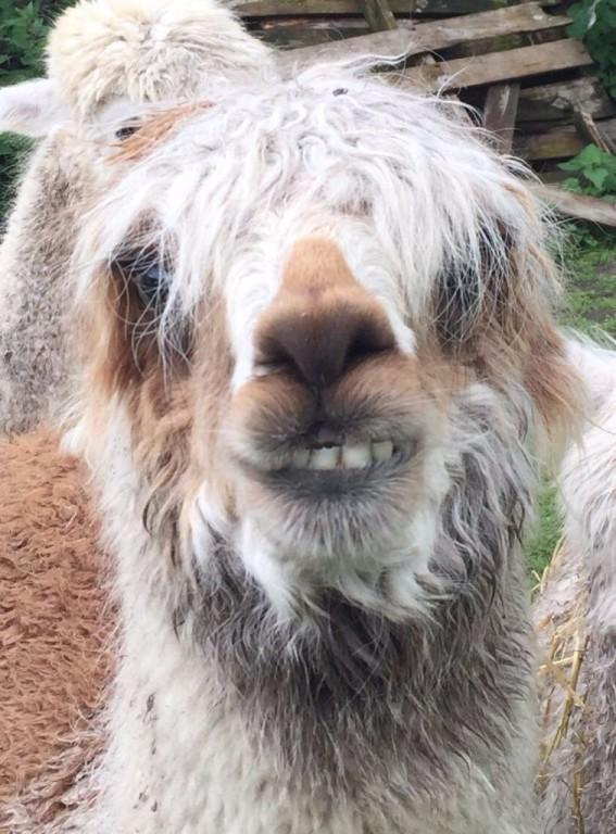 Brian Alpaca