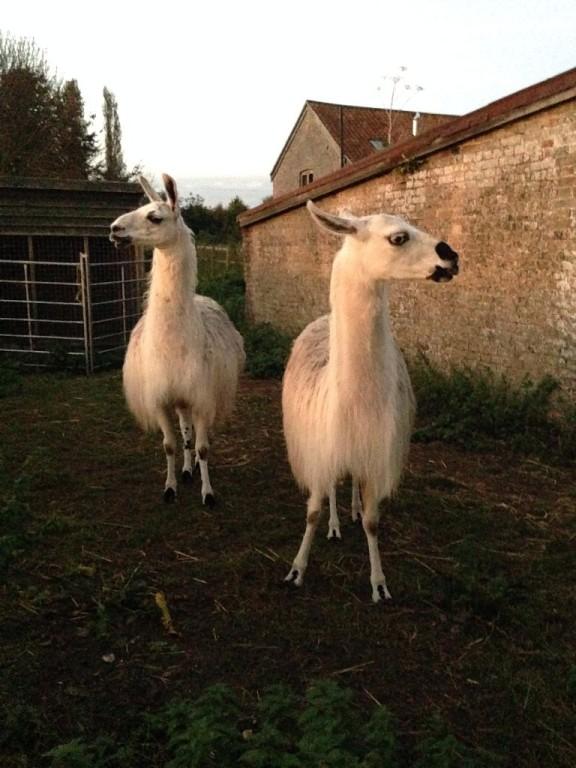 Lily & Lulu Llamas