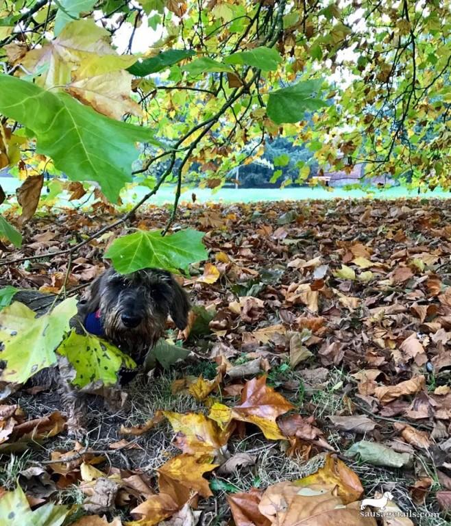 Dachshund Leaves