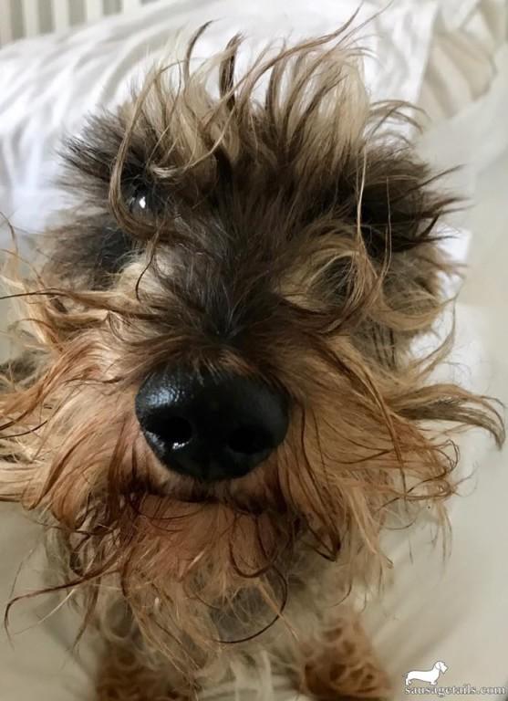 Dachshund Beard