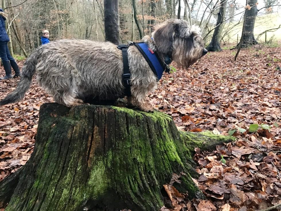 Dachshund Woods