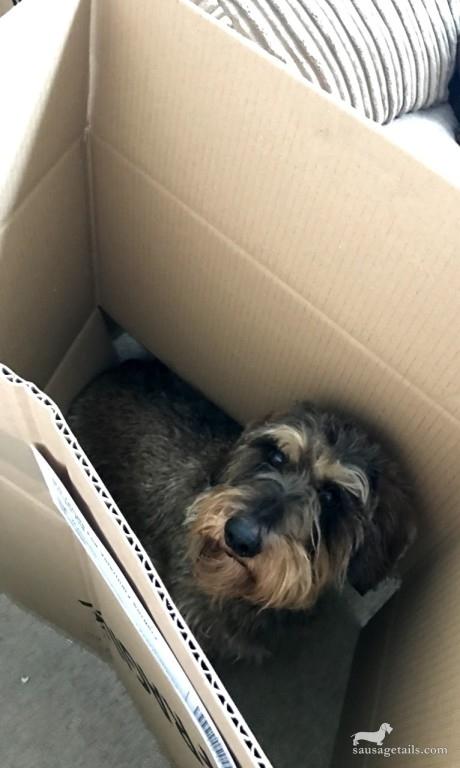 Dachshund Box