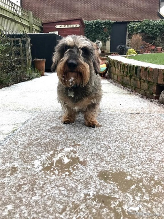 Dachshund Snow