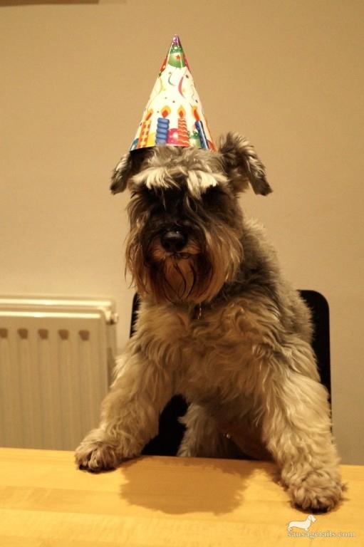 Schnauzer Birthday