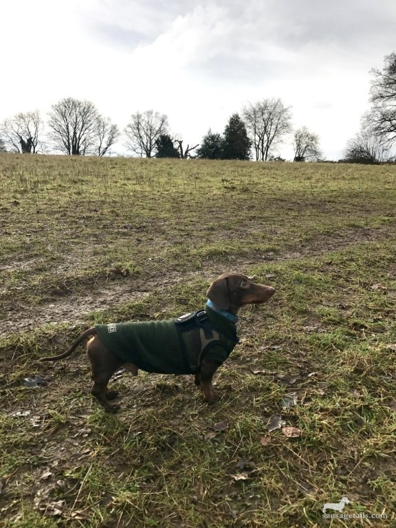 Sausage Dog Walks