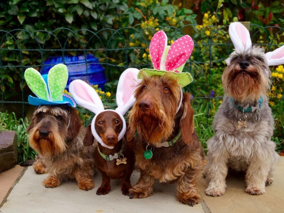 Dachshund Easter