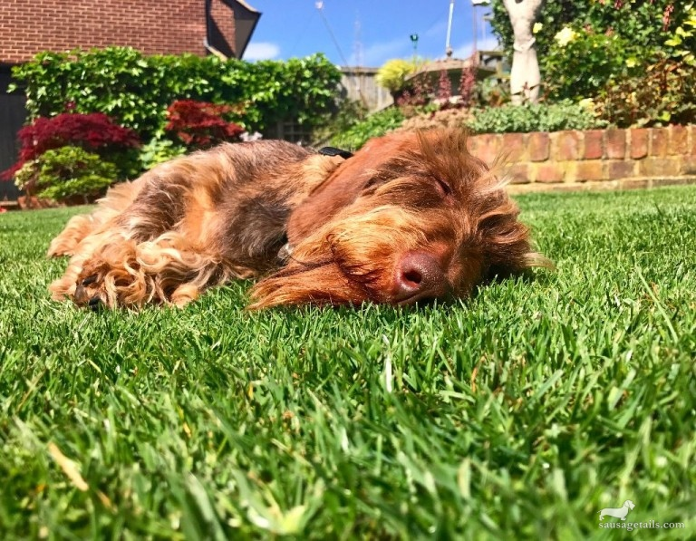 Sunbathing Sausage Dog